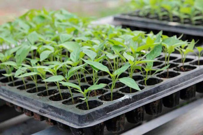 Зачем выращивают рассаду овощей