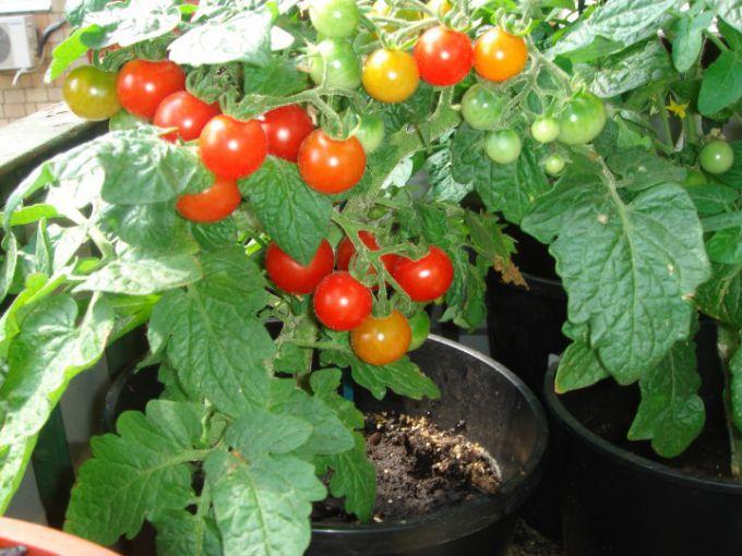 Как ухаживать за растением томата на окне