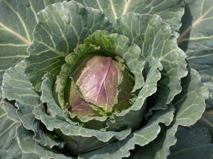 Чем обработать кочаны капусты от гусениц