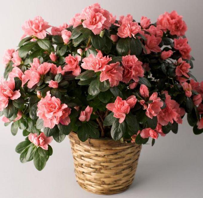 Азалия цветущая