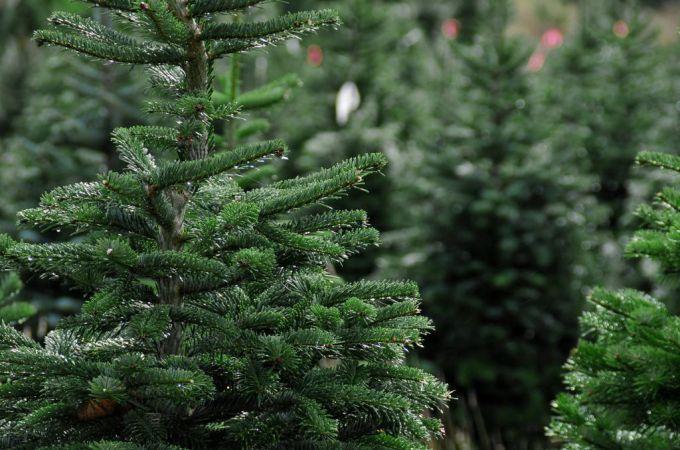 Настоящая новогодняя елка