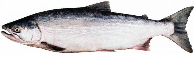 Рыба нерка: пошаговые рецепты с фото для легкого приготовления