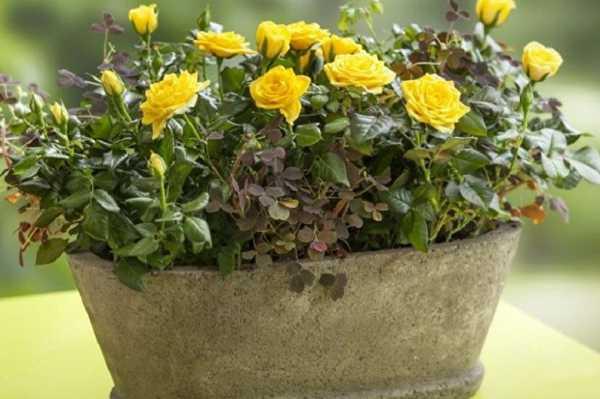 Комнатная роза - правила выращивания и ухода