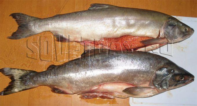 самец и самка горбуши