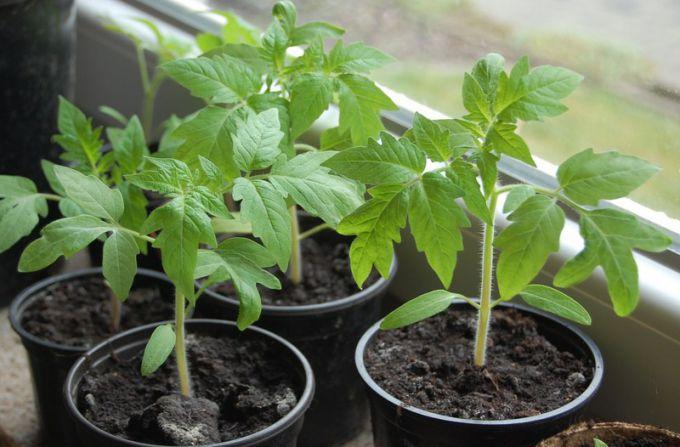 Что надо добавить в почву, высевая помидоры на рассаду