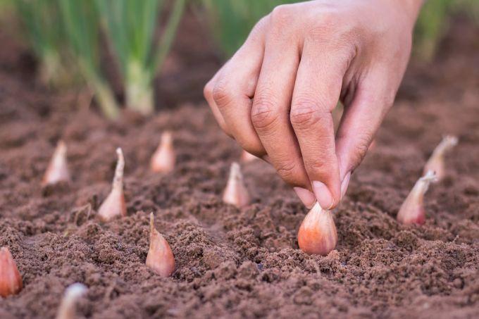 Когда лучше сажать лук-севок 71