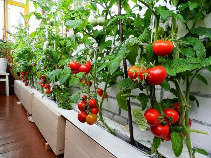 Как выращивать домашние помидоры