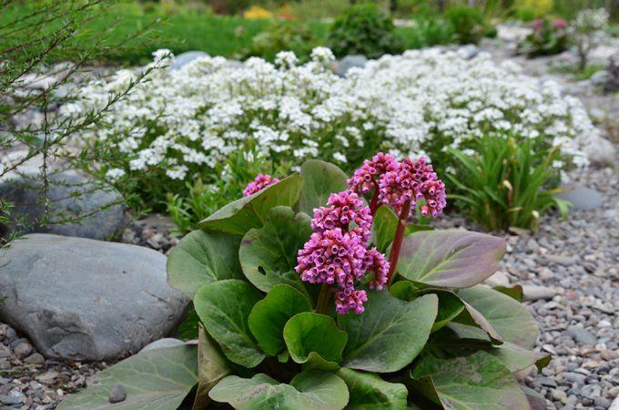 С какими растениями посадить бадан