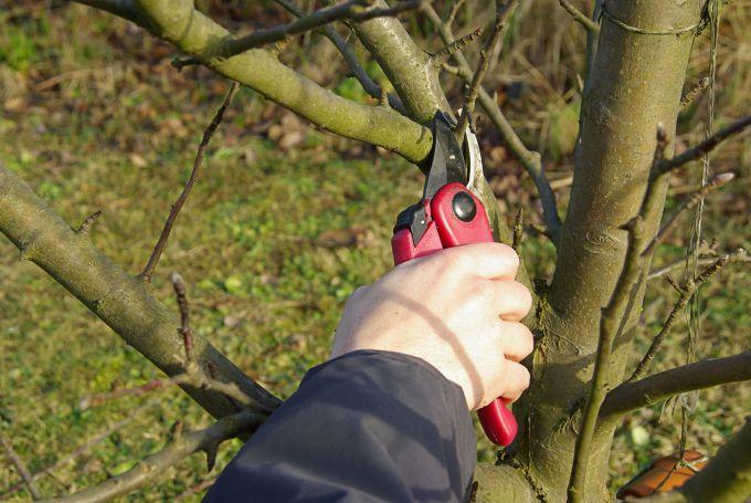 Как обрезать яблоню весной на приусадебном участке