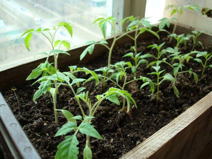 Выращивание рассады томатов в ящиках