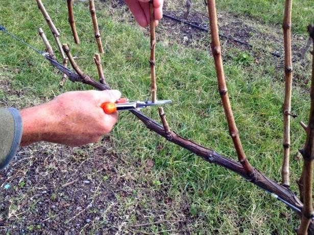 Как ухаживать за виноградом весной: основные тонкости
