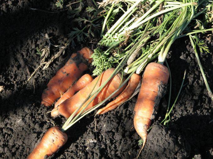 Морковь открытый грунт