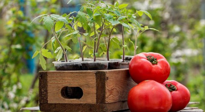 Когда сажать помидоры в открытый грунт в 2018 году