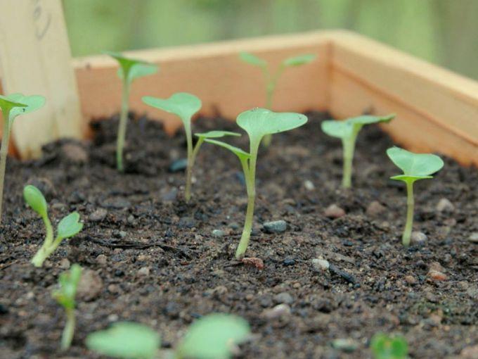 Через сколько дней всходят семена капусты