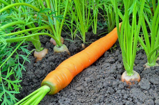 После чего сажать морковь на огороде