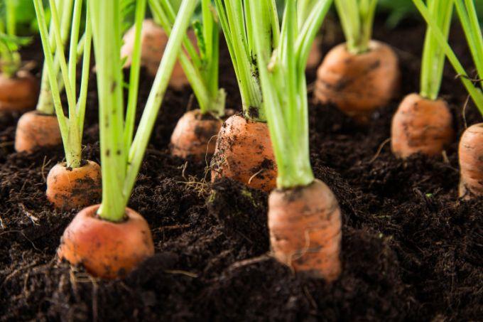 Когда сеять морковь по лунному календарю в 2018 году