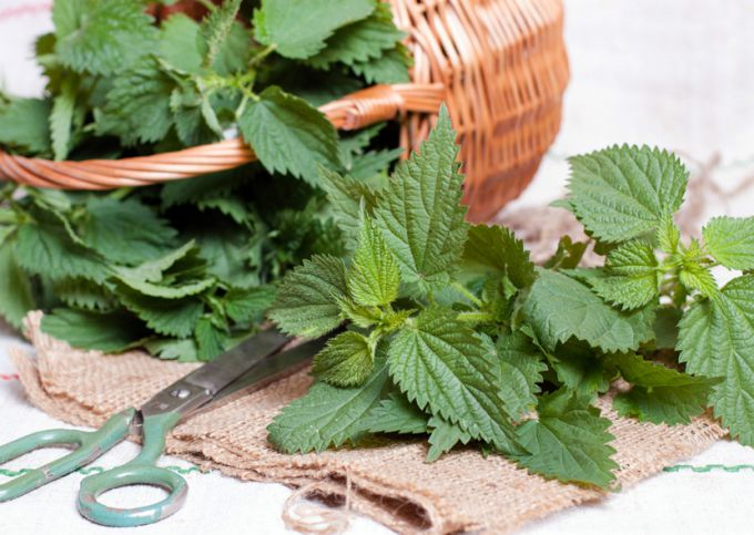 Крапивы листья: инструкция по применению, показания, цена