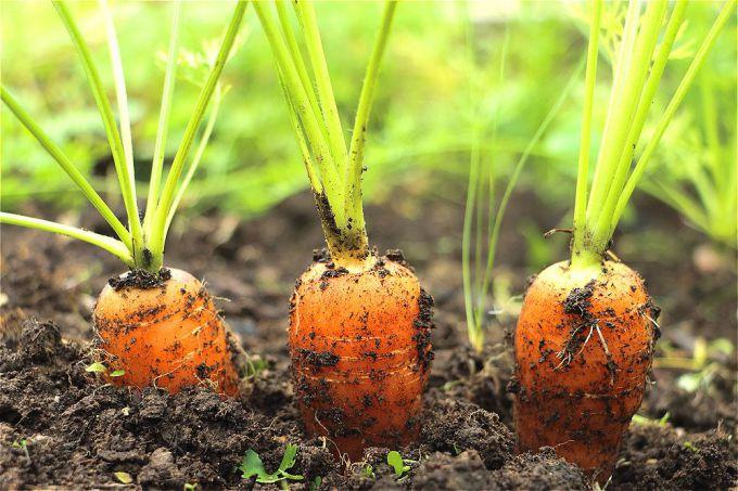 Сладость и сочность моркови зависят от технологии выращивания.
