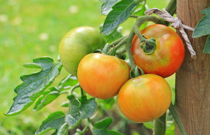 Как подвязать помидоры в открытом грунте
