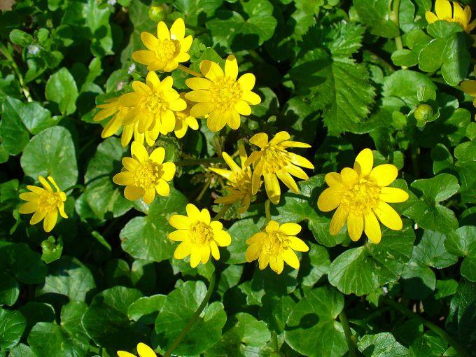 растение чистяк описание и свойства