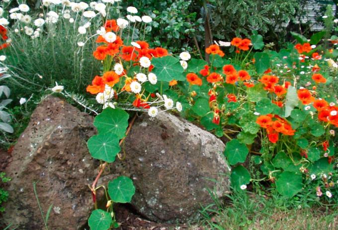Как выращивать настурцию
