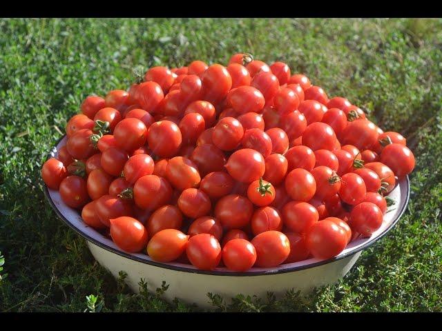 Секреты хорошего урожая помидоров в открытом грунте
