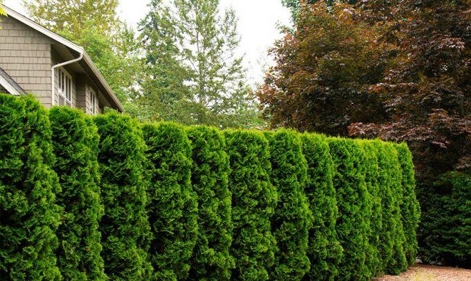 Вечнозеленые кустарники: применение в ландшафтном дизайне