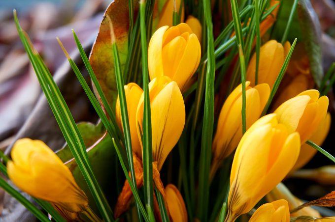 Крокус «Романс»: описание, выращивание