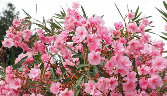 Ядовитое растение олеандр