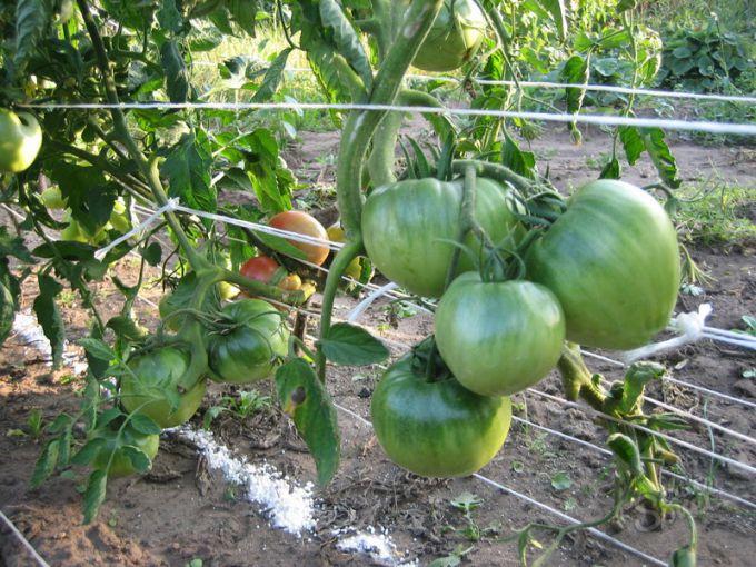 Как подвязывать помидоры без колышков