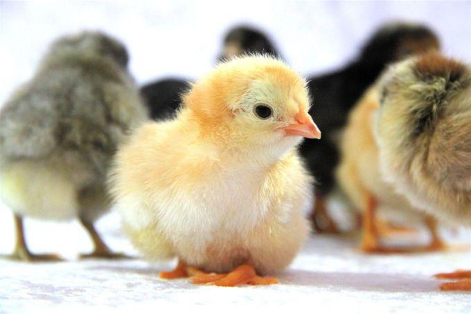 Кокцидиоз у птицы вызывают одноклеточные паразиты
