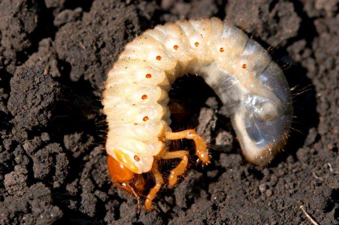 Личинки майского жука поедают корни растений