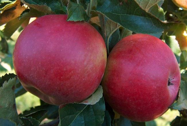 Яблоки сорта «Мельба»