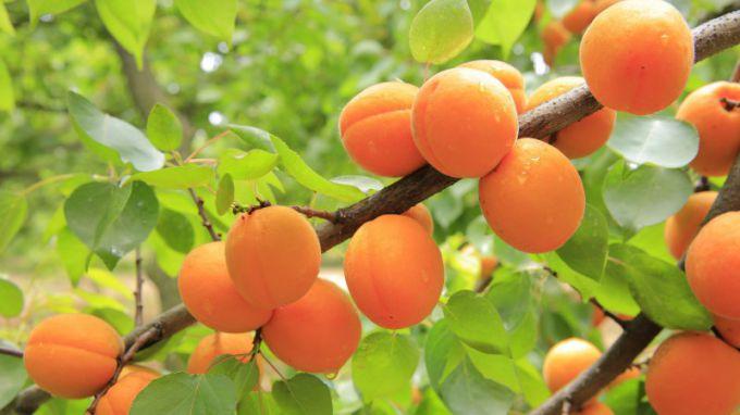 Выбираем лучшие сорта абрикоса