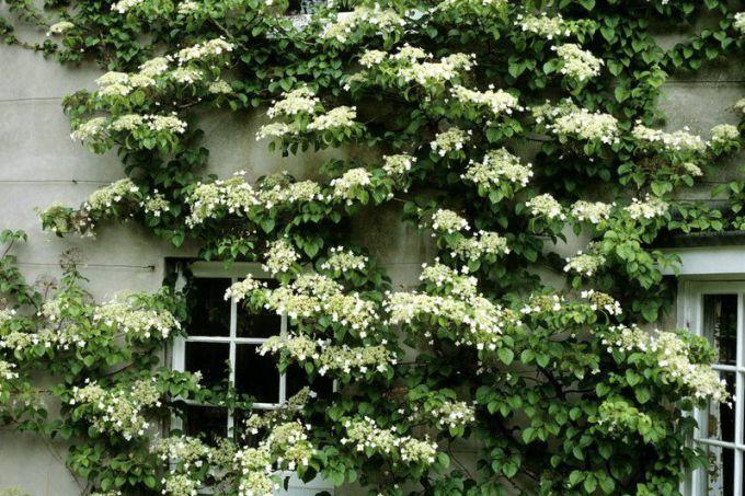 Гортензия черешковая: посадка и уход за садовой лианой