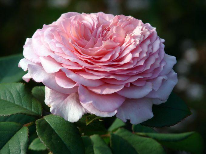 Розы Дэвида Остина: новые сорта английских роз