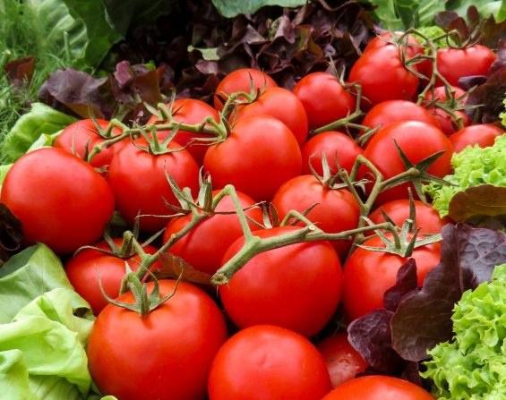 "Томат ""Джина"": описание сорта и агротехника выращивания"