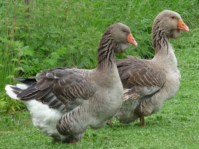 Тулузские гуси