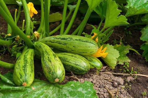 Как получить хороший урожай кабачков