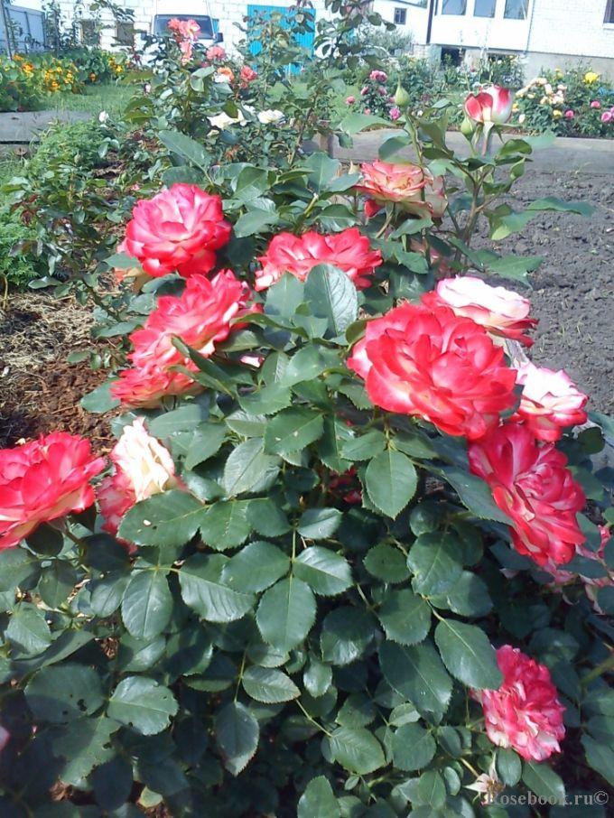 Как продлить цветение роз