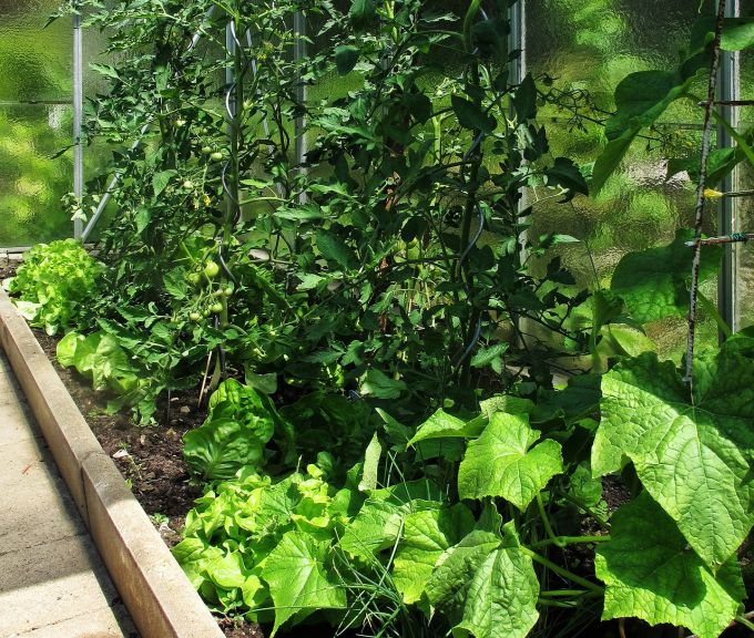 Как дрожжами подкормить помидоры и огурцы