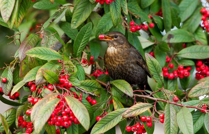 Как защитить ягоды от птиц