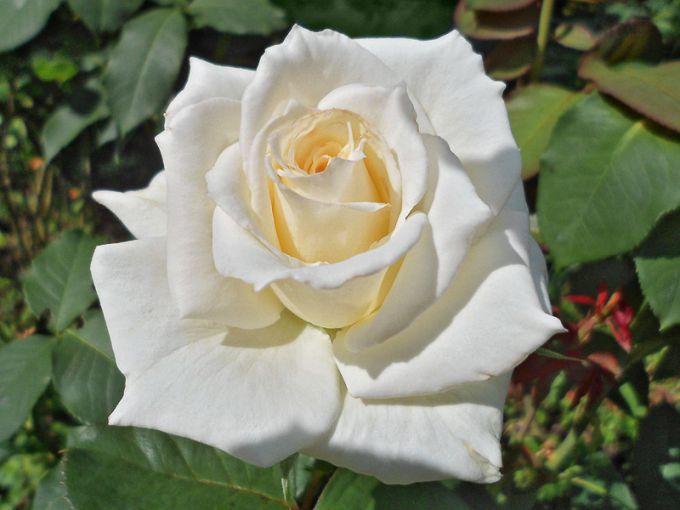 Белые розы: выбираем надежные сорта