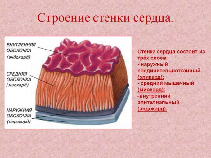Что такое эндокард?