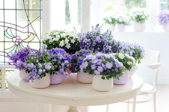 Домашний цветок колокольчик кампанула: посадка, выращивание и уход