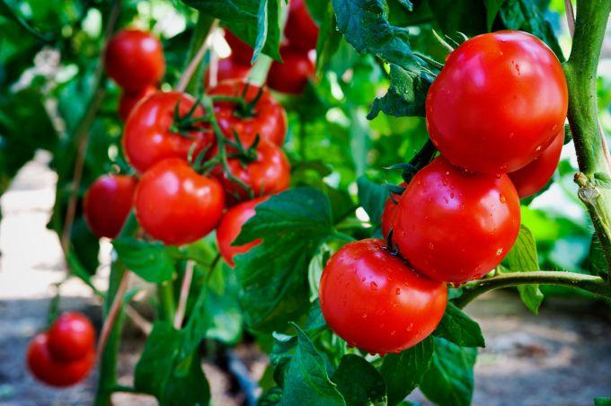 Как поливать томаты, чтобы получить богатый урожай