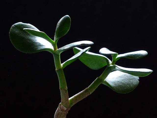Денежное дерево или толстянка помогает в лечении болезней