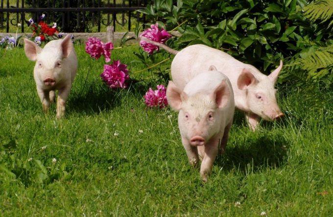 год свиньи по восточному календарю