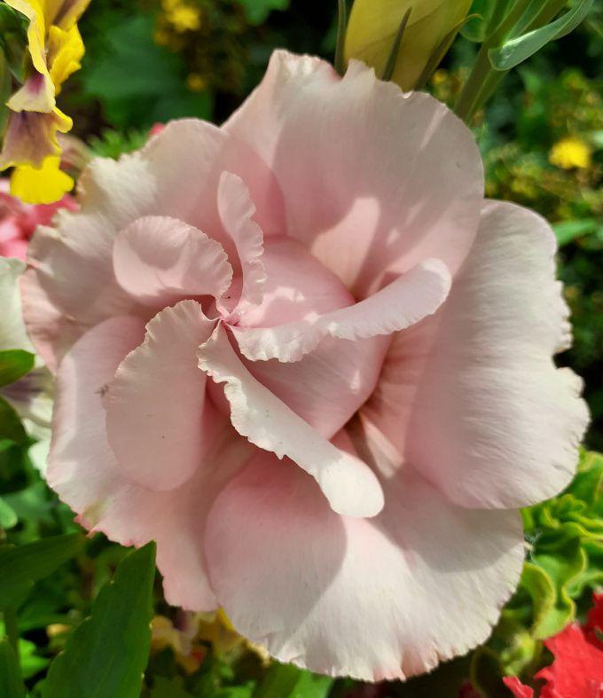 Розовая махровая эустома