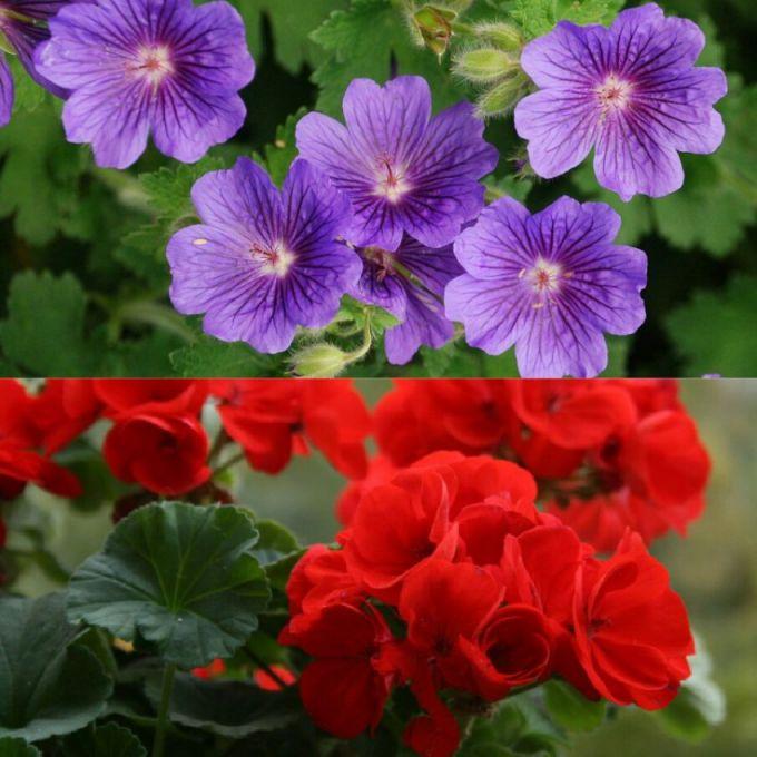 Основное отличие двух растений в форме цветков